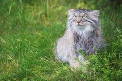 Pallas's cat Royalty Free Stock Photos