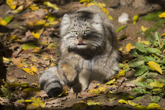 Pallas' young male, Pallas´ cat, Otocolobus manul Stock Images