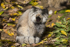 Pallas' young male, Pallas´ cat, Otocolobus manul Royalty Free Stock Photo