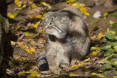 Pallas' young male, Pallas´ cat, Otocolobus manul Royalty Free Stock Photography