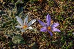 Pallasii del azafrán Imagenes de archivo