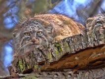 Pallass katt, Otocolobus manul, är en av de mest härliga katterna royaltyfri foto