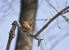 Pallas's Rosefinch in forest Stock Photo