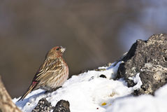 Pallass Rosefinch i skog Arkivfoton