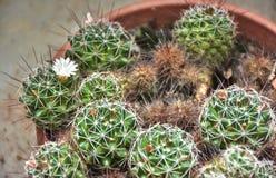 Palle del cactus con un fiore Fotografie Stock Libere da Diritti