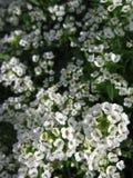 Palle del fiore bianco Immagine Stock