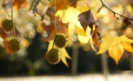 Palle del seme del sicomoro Fotografia Stock