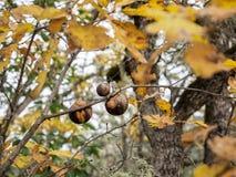 Palle del soffio sul ramo della quercia in autunno Immagini Stock Libere da Diritti