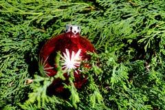 Palle rosse di Natale sugli aghi verdi del pino Immagine Stock