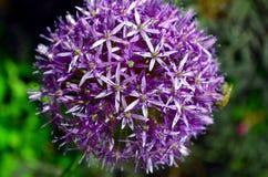 Palle viola rossastre del fiore porpora di sensazione dell'allium Fotografia Stock