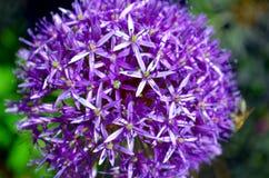 Palle viola rossastre del fiore porpora di sensazione dell'allium Immagine Stock Libera da Diritti