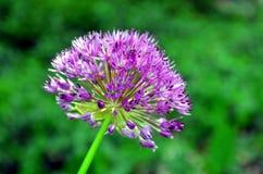 Palle viola rossastre del fiore porpora di sensazione dell'allium Immagine Stock