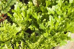 Pallet Garden Lettuce Stock Photo
