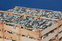 Pallet of sardines Royalty Free Stock Photos