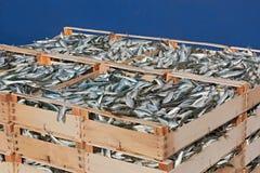 Pallet van sardines Royalty-vrije Stock Foto's