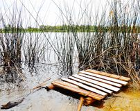 Pallet in the Wetlands. Brown and white painted wood pallet floating in lake water wetlands with tall reeds Stock Photography