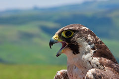 Pallid Harrier royalty free stock images