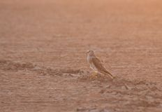 Pallid Harrier from Gujarat, India Stock Images