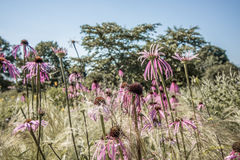 Pallida d'Echinacea Image stock