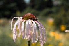 Pallida del Echinacea Imagen de archivo libre de regalías