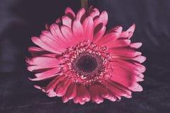 Pallido - margherita rosa della gerbera fotografia stock
