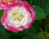 Pallido - primo piano rosa bianco e di rosa del fiore fotografia stock libera da diritti