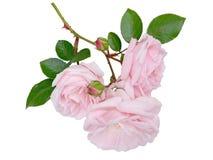 Pallido tenero - fiori della rosa di rosa isolati su bianco immagine stock libera da diritti
