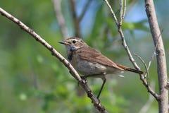 Pallidogularis de svecica de Luscinia Le jeune oiseau sur le stylo de Yamal Images stock