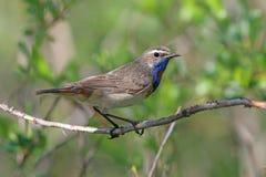 Pallidogularis de svecica de Luscinia Oiseau coloré pendant l'été dessus Photographie stock