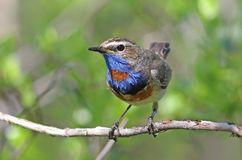 Pallidogularis de svecica de Luscinia Oiseau coloré sur le Yamal Peni Images stock