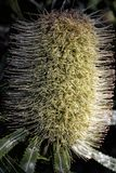 Pallidus Callistemon - сметанообразный ый-бел bottlebrush стоковые изображения rf