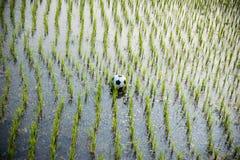 Pallone da calcio su un giacimento del riso Fotografie Stock Libere da Diritti