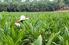 Palmöl Kindertagesstätte Lizenzfreies Stockfoto