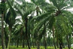 Palmöl-Plantage Stockfoto