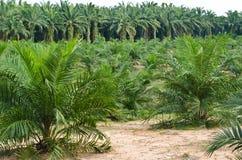 Palmöl-Plantage. Lizenzfreie Stockfotos
