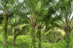 Palmöl-Plantage. Lizenzfreie Stockfotografie