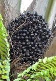 Palmölfrüchte Stockfoto