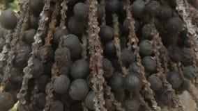 Palmölnuß für das Ernten stock footage