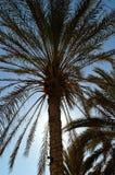 Palm. Ksar Ghilan  - South Tunisia Stock Image
