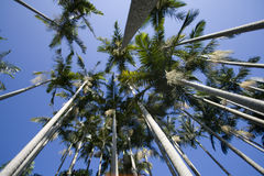 Palm. View from below the palm tree forest Royalty Free Stock Photo