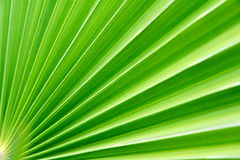 Palm. The background of palm leaf Royalty Free Stock Photography
