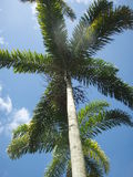 Palm. Photo of the top of a palm tree with beautiful leaves Stock Photo