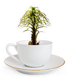 Palm. Tree growing in a white cup isolated on a white background Stock Images