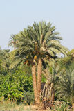 Palm. Tropical forest Royalty Free Stock Photos