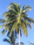 Palm. A palm tree in the south Royalty Free Stock Photos