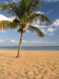 Palm. Tropical beach Stock Image