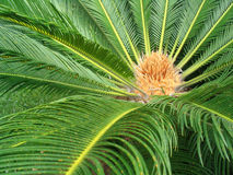 Palm. A picture to a tropical plant Royalty Free Stock Photography