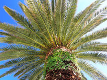 Palm. Crown of a palm against the sky Stock Images