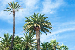 Palm. Trees isolated over cloudy sky stock image