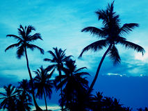 Palm. Trees in the tropics Royalty Free Stock Photos